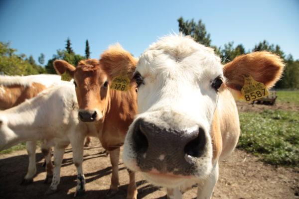 Neljä nuorta lehmää, joista yksi on turpa kiinni kamerassa.