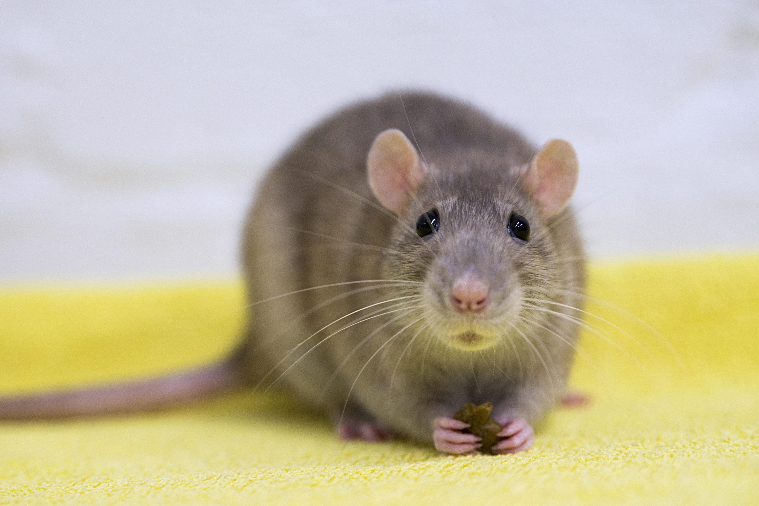 Lähikuva harmaaruskeasta hiirestä.