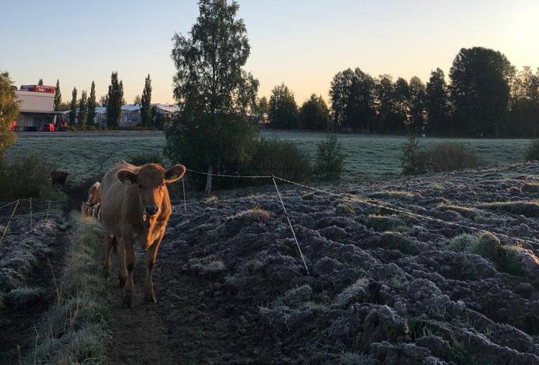 Lehmät jonossa pellolla.