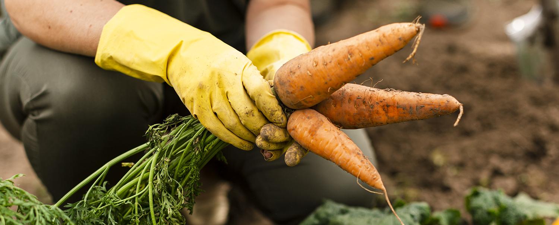 Henkilö nostamassa porkkanoita mullasta.