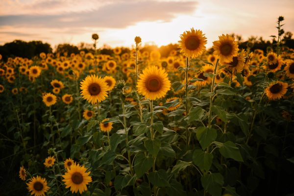 Auringonkukkia aurigonlaskussa.